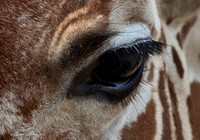 Eye of the Giraffe